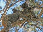 'love bite'. Koalas having fun