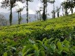 Tea Estate and Mountain View