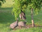 Funny Guinea Fowl