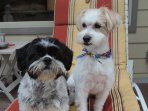 Our 2 dogs, Bella and Meetzu. They are hypoallergenic pups.