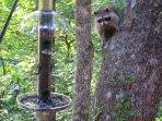 Raccoon eyeing our bird feeder.