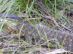 Lace Monitor in Grass at Byfield Cabins