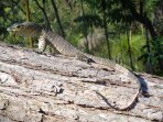 Lace Monitor at Byfield Cabins