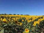 Glorious sunflowers - July