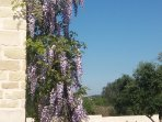 Outdoor - Flowers - Wisteria