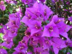 Outdoor - Flowers - Bougainville