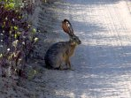 Jack Rabbit on the Road