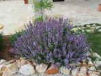 Herbs garden - Sage