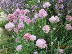 Herbs garden - Chives