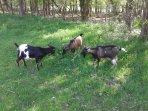 Chèvres naines sur le site: on peut les approcher , le petit bois est accessible aussi.