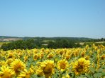 Sunflowers in bloom at Langlade.
