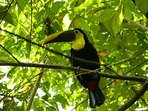 Toucan in the front yard... who doesn't love a Toucan. These magnificent birds are a real treat!