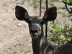 one of many visiting kudu