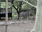 kudu bull visiting
