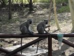 Monkeys looking to snack on bird feed.