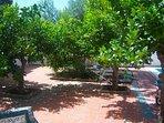 Algunos de los naranjos de nuestro jardin