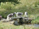 Some local Herdwick sheep crossing a footbridge