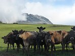 View the cows grazing in Paradise