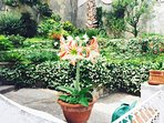 Blloming Amarillis in the garden