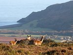 Red deer on Porlock Hill, view of Porlock village and Porlock Bay, Exmoor National Park