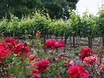 Vines & roses - the beauty of Sonoma