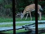 Wildlife right outside. Picture of deer taken through dining area french doors