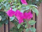 Bougainvillea blossom