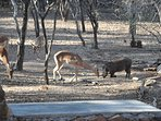 Impala and Warthog