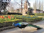 Peacocks in Holland Park.