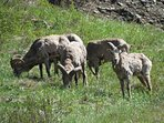 Bighorn sheep gather on the roadside on the way to Yellowstone