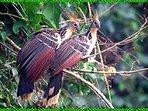 Shanshos  aves endemicas de la selva Peruana Cocha Machuwasi Salvacion