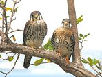 Kestrels perched above apartment deck