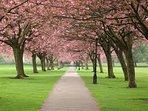 May blossom on Harrogate Stray