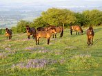 Quantock wild ponies seen across the hills.