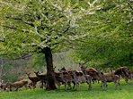 Herd of wild deer that congregate every night in Holford. 5 minute walk from Little Mayfield.