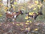 Chèvres qui posent un jour d'automne !