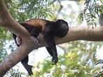 Your next door neighbors, the howler monkeys