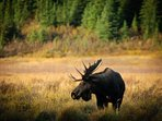 Wild bull moose in Canmore