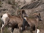 Mountain sheep are also a common sight
