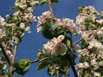 Spring apple blossom in our traditional orchard