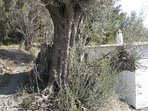 One of many ancient olive trees on the property