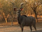 A proud Kudu Bull visiting Chipembere