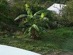 budding tropical fruit tree