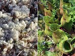 Look closely on Wass's trails for Reindeer moss (left) and carnivorous Pitcher Plants (right)