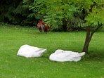 Geese dozing