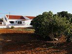 Vegetable garden with Fig Tree and Medlar, and the house in the background