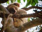 Sleepy Koala in Noosa National Park!