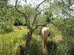 La Petita the pony in the olive grove