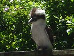 A visiting Kookaburra sharing breakfast with our guests. The cameras were busy that morning.
