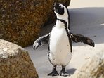 Meet and greet , swim with the penguins at nearby Boulders Beach